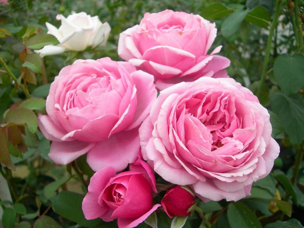 バラの画像 p1_39