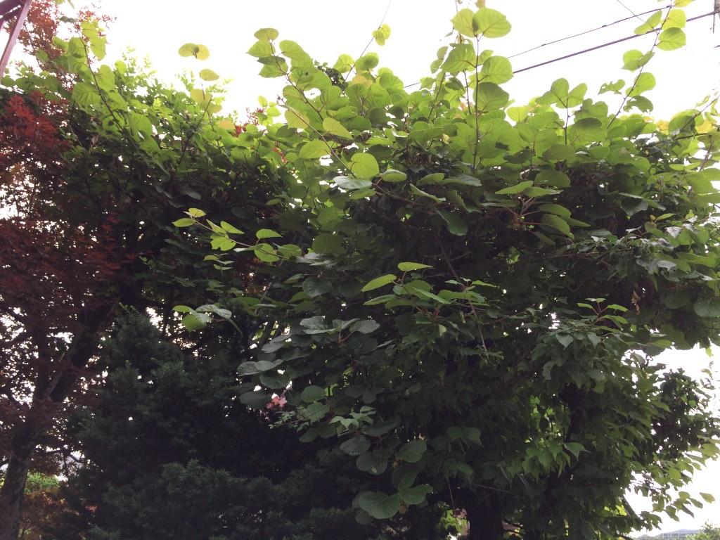 梅の木 キウイ