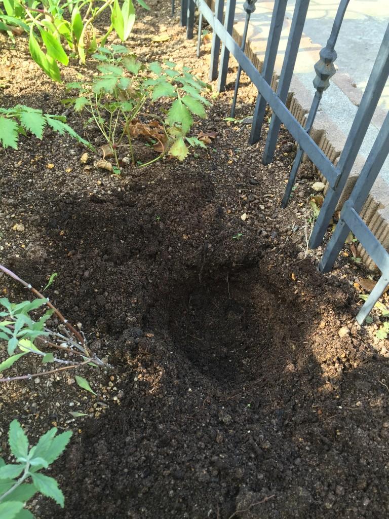 チューリップ 植え穴